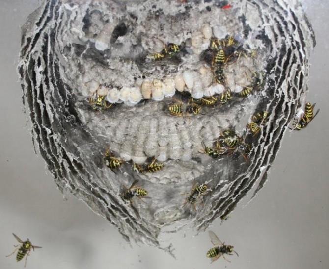 케빈 루프 연구원은 다양한 땅벌의 둥지를 관찰해 일벌이 여왕벌을 시해하는 조건을 밝혀냈다. - 바렛 클레인(Barrett Klein) 제공